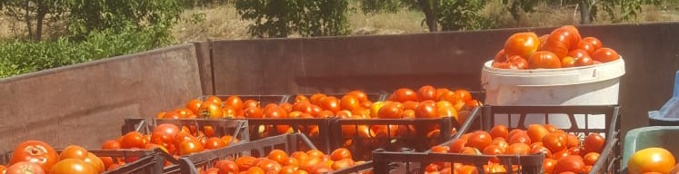 Zongedroogde tomaten uit Turkse tuin