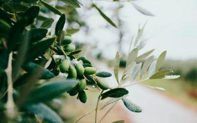 Wat maakt olijfolie zo uniek dat er zoveel soorten zijn?